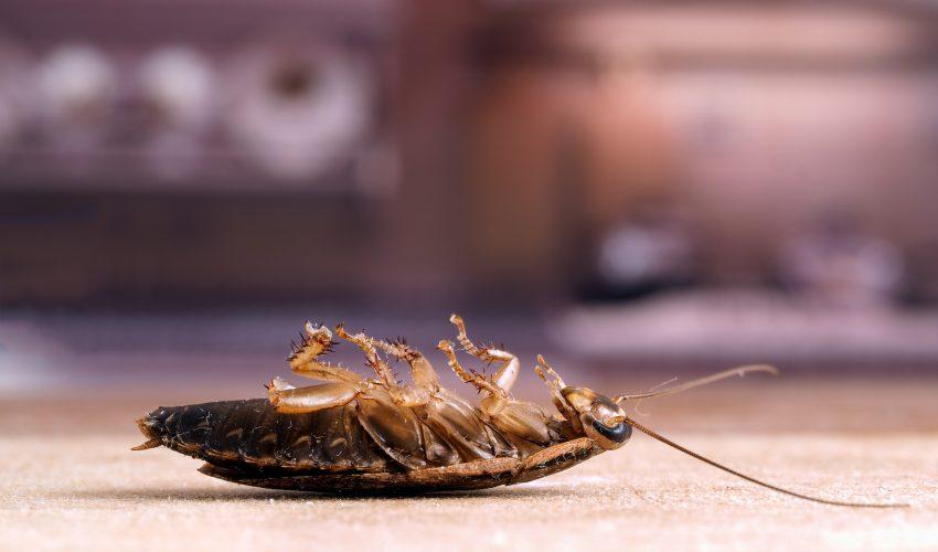 Ciclo de vida de las cucarachas en hoteles y restaurantes