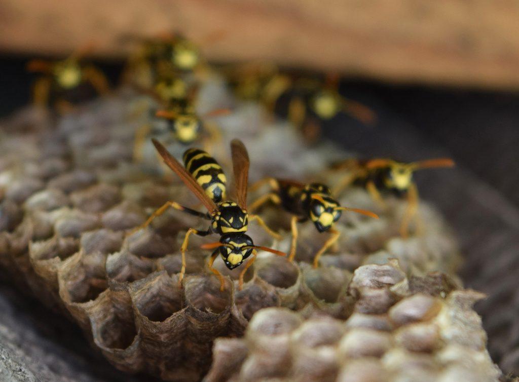 Eliminar nido de avispas stunning nido de avispas with for Como quitar las hormigas del jardin