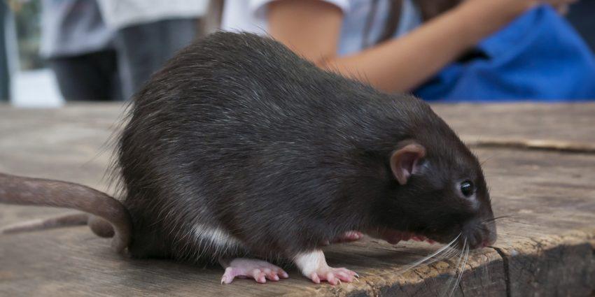 Cómo exterminar ratas de restaurantes y bares en Tenerife