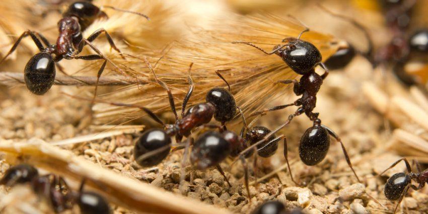 Es dañina la presencia de hormigas en casa