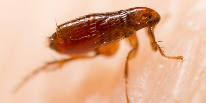 Cómo exterminar plagas de pulgas en casas, patios y mascotas