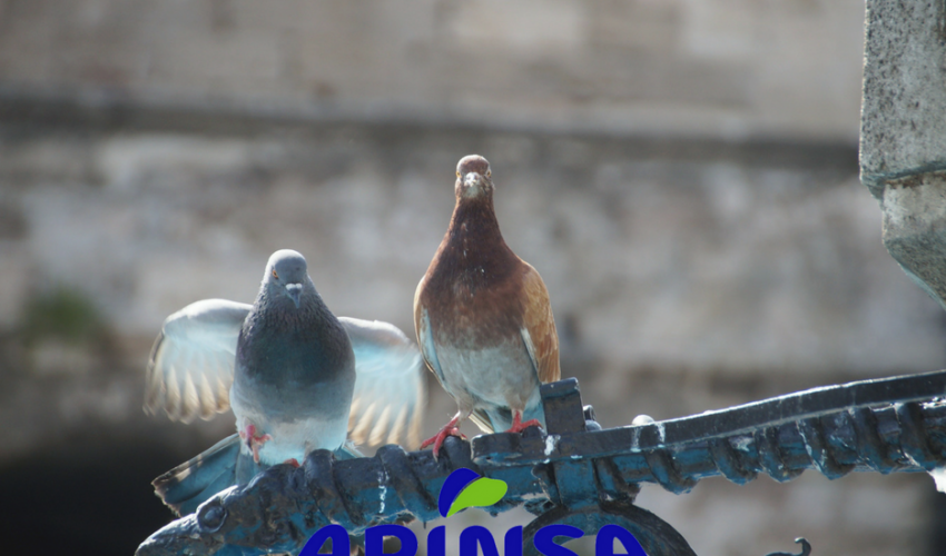 Captura de palomas con jaula en Tenerife